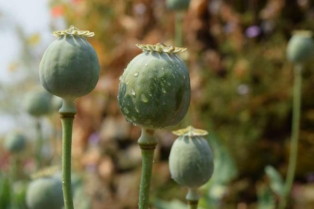 poppy-677959_1280.jpg